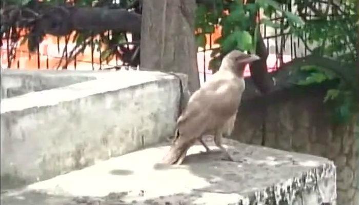 कोईम्बतूरमध्ये सापडला पांढरा कावळा