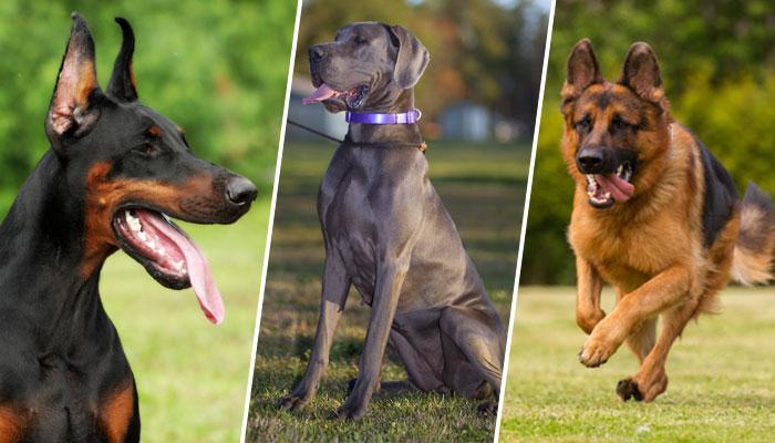 या आहेत १० धोकादायक कुत्र्यांच्या जाती