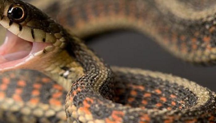मानवी वस्तीत सापांचं वास्तव्य, घरात सिलिंडरखाली साप