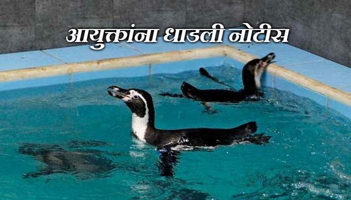 अपुऱ्या सोयी-सुविधांमुळे गेला पेंग्विनचा जीव?