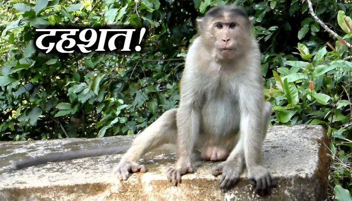निवडणुकीच्या मौसमात पिसाळलेल्या माकडाची दहशत!