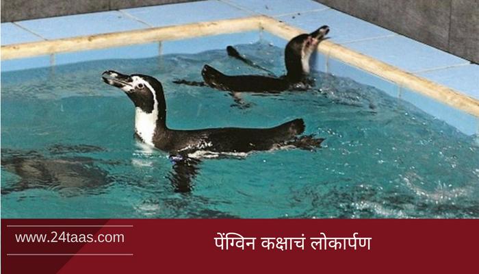 व्हिडिओ : पाहा, राणीच्या बागेतलं पेंग्विनचं नवं घर