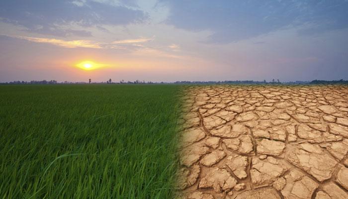 २०३० पर्यंत देशातील तांदुळ उत्पादन घटणार