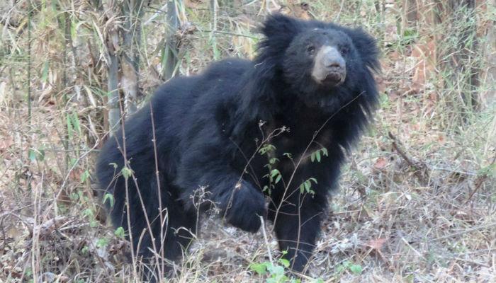 नरभक्षक अस्वलाच्या हल्ल्यात तीन ठार