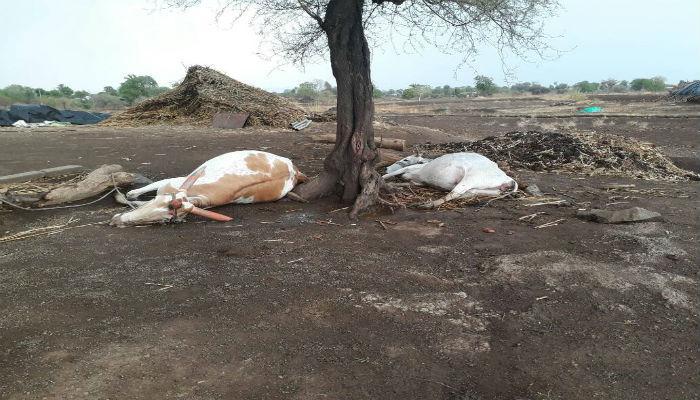 नाशिक जिल्ह्यात वादळी-वाऱ्यासह पाऊस, चार ते पाच जनावरांचा मृत्यू