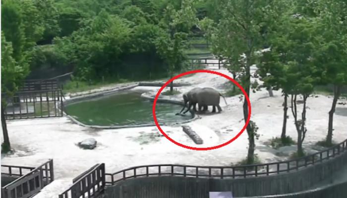 VIDEO : हत्तीचं पिल्लू आई-वडिलांसमोर पाण्यात पडलं आणि...