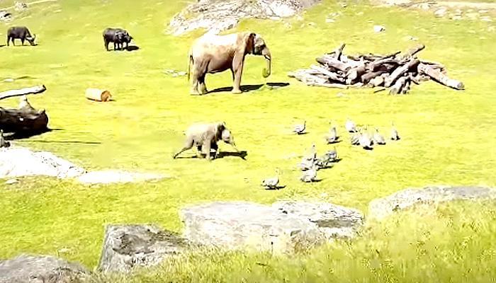 बेबी हत्ती दुडदुडू धावतो, धडपडतो, आईजवळ जाऊन लपतो...