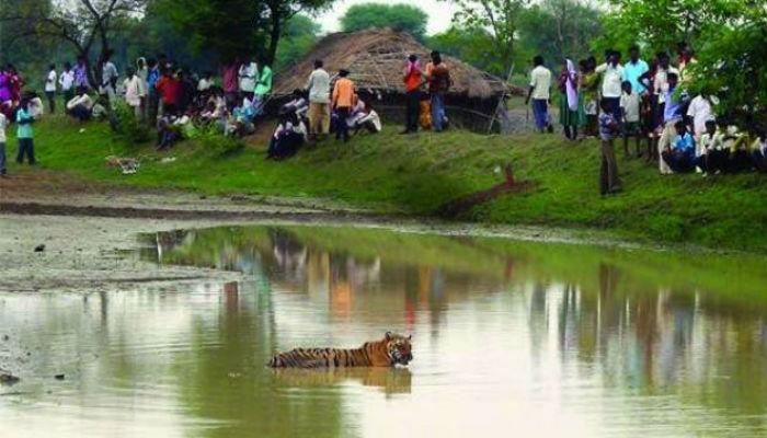 वाघांचं अन् आदिवासींचं एकच घर... जगण्यासाठी रोजचा संघर्ष!