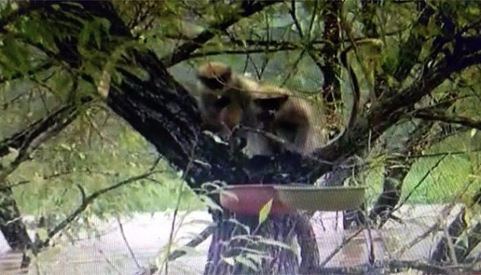 पुरात अडकलीत दोन माकडं, पाच दिवस झाडावर अडकून