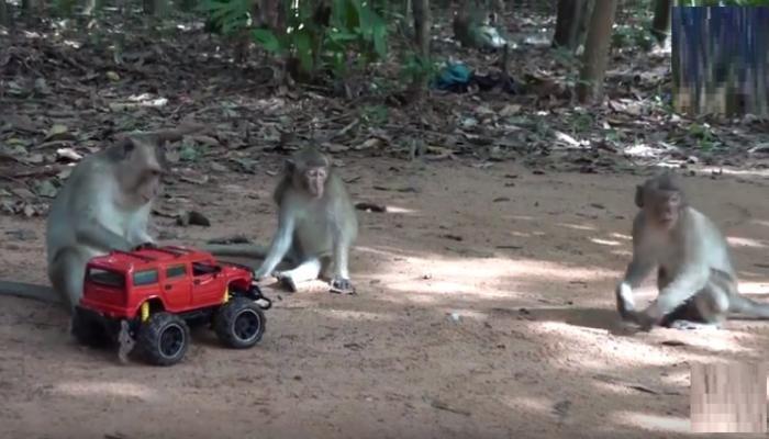 माकडांचा रिमोर्ट कारसोबत व्हिडीओ व्हायरल