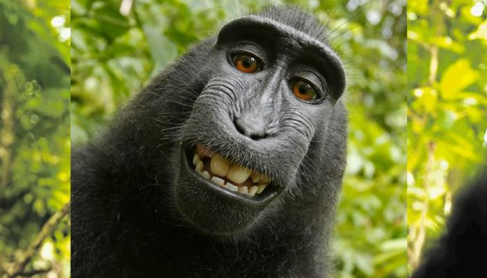 माकडाने घेतलेल्या सेल्फीच्या कॉपीराईटचा वाद मिटला