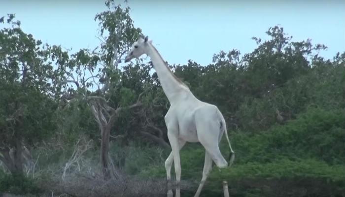 इथे आढळले पांढ-या रंगाचे जिराफ, बघा व्हिडिओ