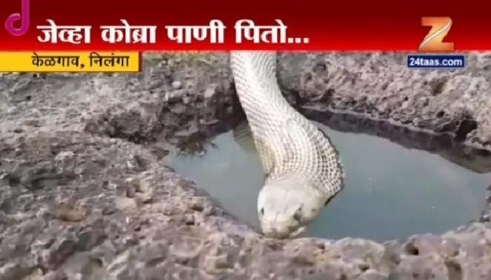 सापाला पाणी पिताना तुम्ही कधी पाहिलंय का?