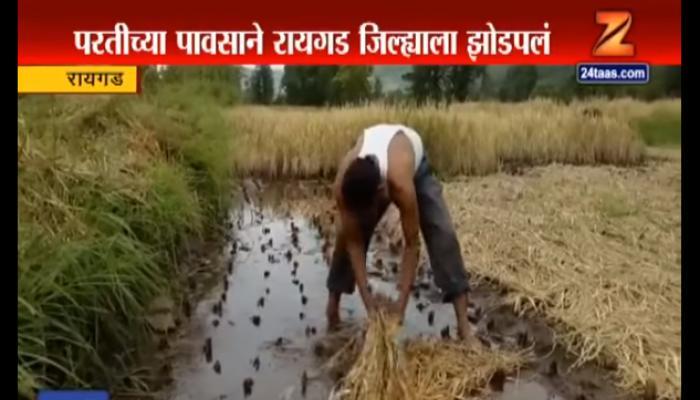 रायगडला पावसाने झोडपले, भातशेतीचे मोठे नुकसान