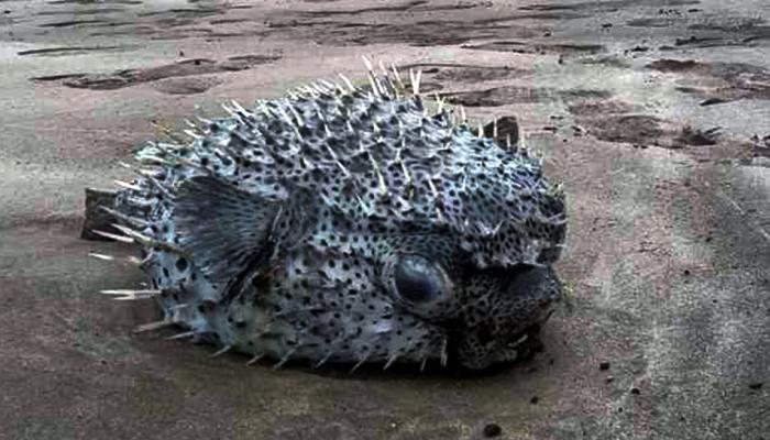 रत्नागिरीत समुद्र किनाऱ्यावर विचित्र विषारी मासा, पाहण्यासाठी गर्दी