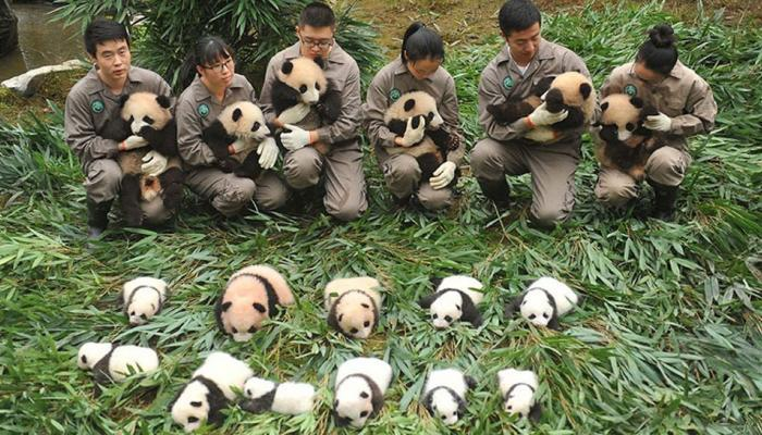 चीनच्या सेंटरमधील क्यूट पांडा