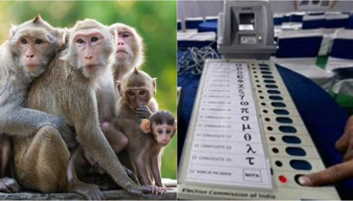 हिमाचल प्रदेश निवडणुकीत विकासाच्या मद्द्यासोबत माकडाचाही प्रवेश