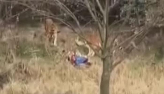 धक्कादायक : वाघांच्या तावडीत सापडला आणि मग...