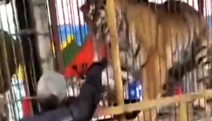 व्हिडिओ : वाघाच्या पिंजऱ्यात हात घालणं पडलं महागात