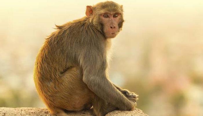 Viral Video: माकडाने पर्यटकाच्या पर्समधून पैसे काढून उडवले
