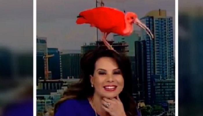 VIDEO : जेव्हा लाईव्ह न्यूज अँकरच्या डोक्यावर नाचला पक्षी
