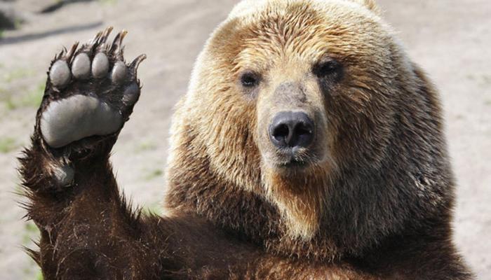 व्हिडिओ:राष्ट्रपती पदासाठी अस्वलानेही केले मतदान