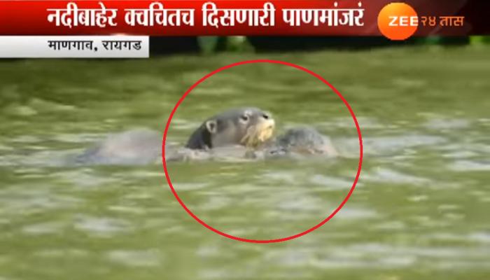 व्हिडिओ : काळ नदीच्या पात्रात दुर्मिळ पाणमांजराचं दर्शन