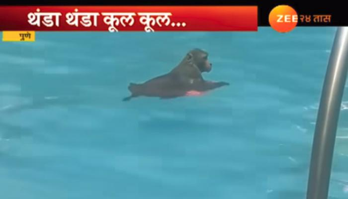 ...आणि माकडाने घेतला स्विमिंग टॅंकमध्ये पोहण्याचा असा आनंद !