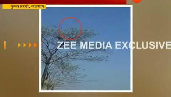 व्हिडिओ : असा झाडाच्या शेंड्यापर्यंत चढला बिबट्या