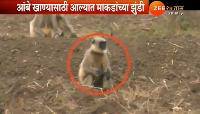 व्हिडिओ :... इथे सुरू आहे माकडांची 'मँगो पार्टी'