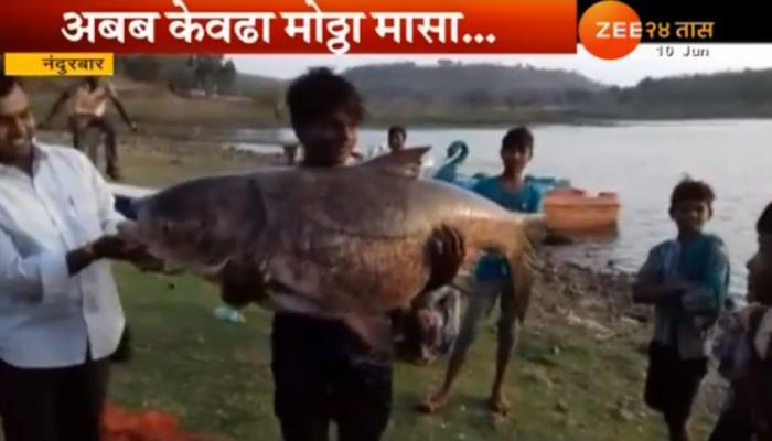 ५० किलो वजनाचा मासा जाळ्यात!