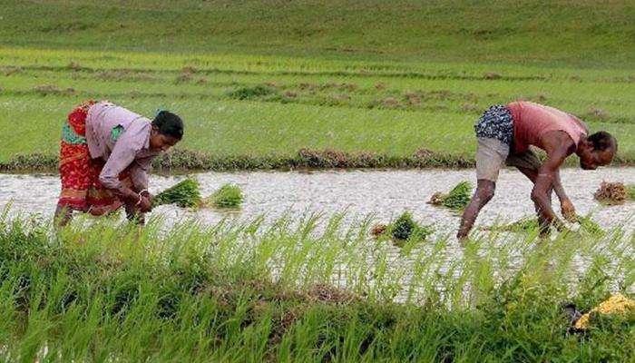 पावसानं दडी मारल्याने शेतकऱ्यांवर दुबार पेरणीचं संकट