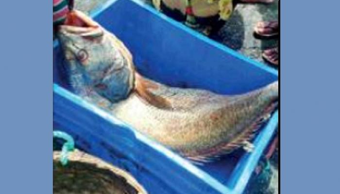 मच्छिमाराच्या हाती लागला 5 लाख 50 हजारांचा मासा