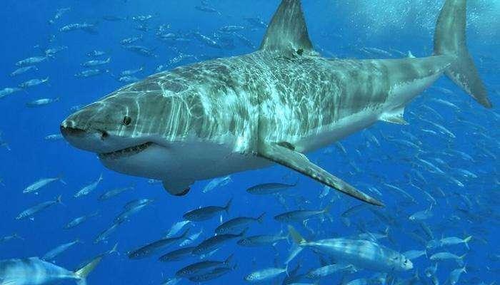 ८००० किलो शार्क माशाचे कल्ले जप्त