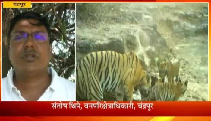 Chandrapur Tigress Give Birth To 5 Cubes