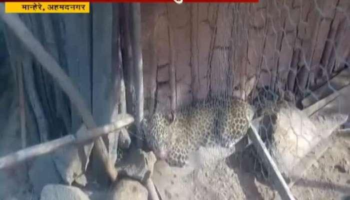 Ahmednagar Leopard Stuck In Hens Cage