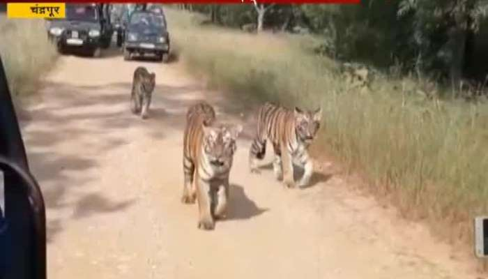 Chandrapur Special Report On Tadoba_s Tourist Precatuions During Tour