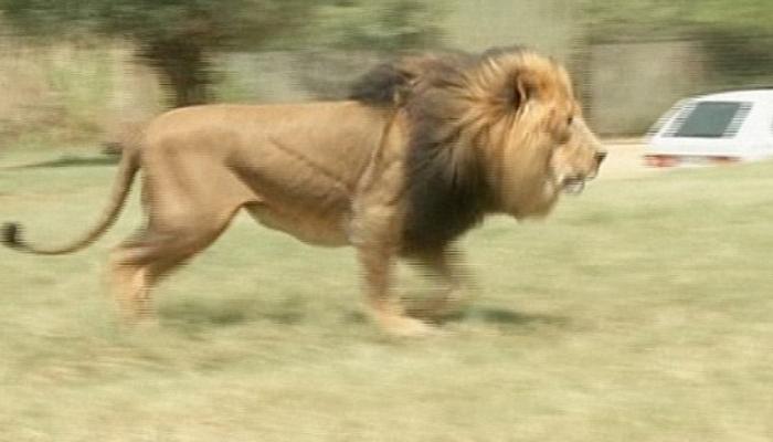 जेव्हा अचानक घरात घुसला सिंह