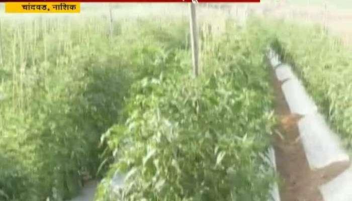 Nashik,Chandvad Farmer Nitin Nikam Earn Good Money In Inter Crop Farming